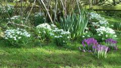 Snow Drops and Crocus Spring Flowers Natural Background Stock Footage