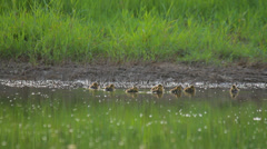 Many little ducks swimming on summer day in the lake in nature, mallard duckling Stock Footage