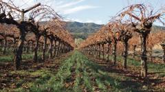 The vineyard in winter season Stock Footage