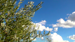 Close up of olive's tree tip wuth clouds. Stock Footage