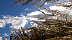 Backlit shot of reeds plants in a cloudscape background. Stock Footage