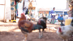 Low level closeup of chickens with worker passing in background Stock Footage