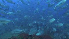 Big Eyed Jacks Swarming Stock Footage