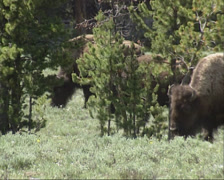 Bison herd moving and grazing in Yellowstone National Park Stock Footage