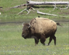 Bison herd moving and grazing + birds pecking in winter coa Stock Footage