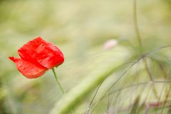 red flower on the field. - stock photo