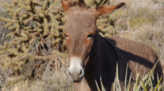 A Wild Burro Standing in the Mojave Desert Stock Footage