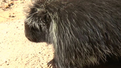 Porcupine Walking Stock Footage