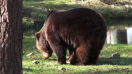 Stock Video Footage of Brown bear (ursus arctos) digging for food side view