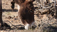 Wild Burro Grazing in the Mojave Desert in Close Up Stock Footage