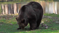 Stock Video Footage of Single Brown bear (ursus arctos) digging for food