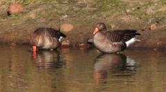 Two greater white-fronted goose (anser albifrons) drinking Stock Footage