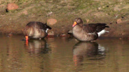 Stock Video Footage of Two greater white-fronted goose (anser albifrons) drinking