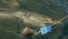 Great White shark with two spot tags Stock Footage