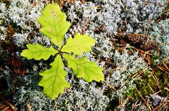 five young leaves of the oak - stock photo