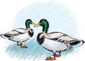 Stock Illustration of ducks on a farm