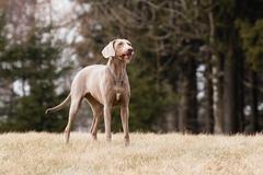 Hungarian hound dog Stock Photos