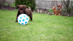 Chocolate labrador puppy playing with a ball Stock Footage