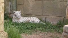Rare White Tiger Stock Footage