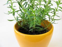 Dwarf hyssop in herb pot Stock Photos