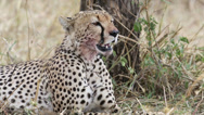 Stock Video Footage of Cheetah after meal