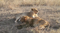 Lion resting in Serengeti - stock footage