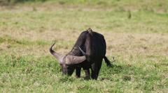 Large buffalo eat grass Stock Footage
