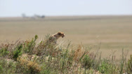 Stock Video Footage of Cheetah in Serengeti