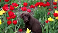 Stock Video Footage of Puppy Labrador retriever playing in a tulip field