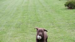 chocolate labrador puppy playing with a ball - stock footage
