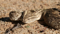 Defensive puff adder Stock Footage