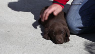 Stock Video Footage of Puppy Labrador retriever chocolate