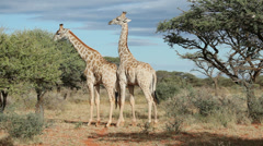 Giraffe interaction - stock footage