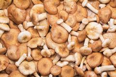 a large number of fungi honey fungus. - stock photo