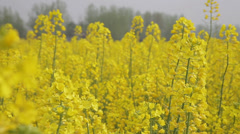 Yellow oilseed Rape,hanzhong,shaanxi,china Stock Footage