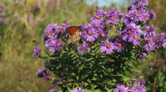 Monarch on Flowers Stock Footage
