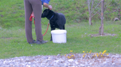 Obedient Labrador Dog Sitting and Lying Down Stock Footage