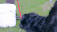 Stock Video Footage of Energetic Labrador Dog Not Happy With Washing