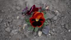 Deep red pansy flower Stock Footage