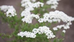 Little white flowers blooming bush Stock Footage