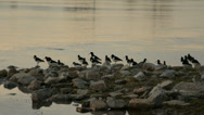 Stock Video Footage of Eurasian Oystercatchers resting on a pier at dusk