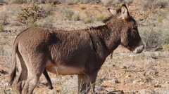 A Wild Male Burro Jack Standing in the Mojave Desert Stock Footage