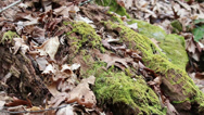 Stock Video Footage of Rotten Log with Moss and Leaves on Forest Floor  HD
