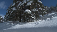 Colle De St Michel Tilt of Snow Laden Pine Stock Footage