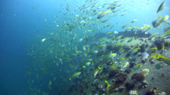 School of various snappers on top of Sugar Wreck, Perhentian Island Stock Footage