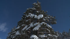 Colle De St Michel Tilt Down Snow Laden pine Stock Footage