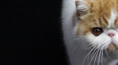 A cute cat kitty is walking and focused by camera Stock Footage