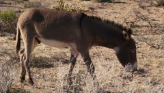 A Wild Burro Feeding in a Natural Desert Landscape Stock Footage
