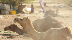 Camels Sitting and Ruminating Stock Footage