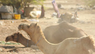 Stock Video Footage of Camels Sitting and Ruminating